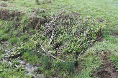 willow mattress planted to stabilize streambank