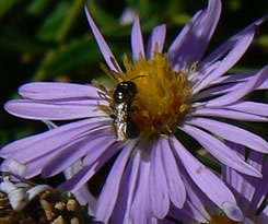 native bee on flower